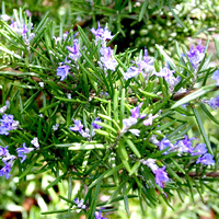 100% Pure Essential Oil - Rosemary